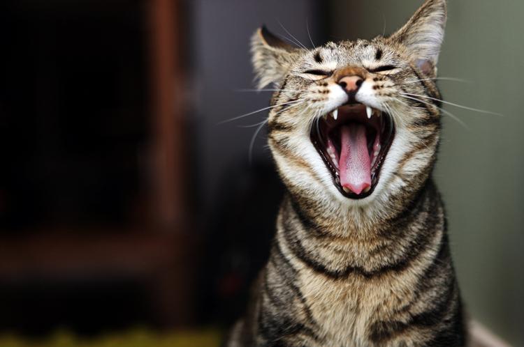 Кот с открытым ртом