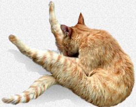 Кот постоянно лижется под хвостом