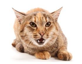 Почему кот стал агрессивным