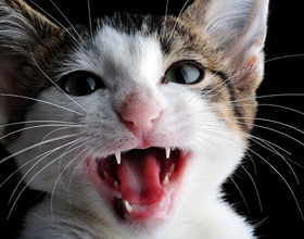 Почему кошки постоянно мяукают без причины