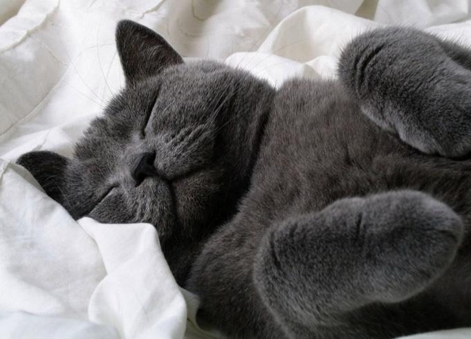 Породистый кот спит