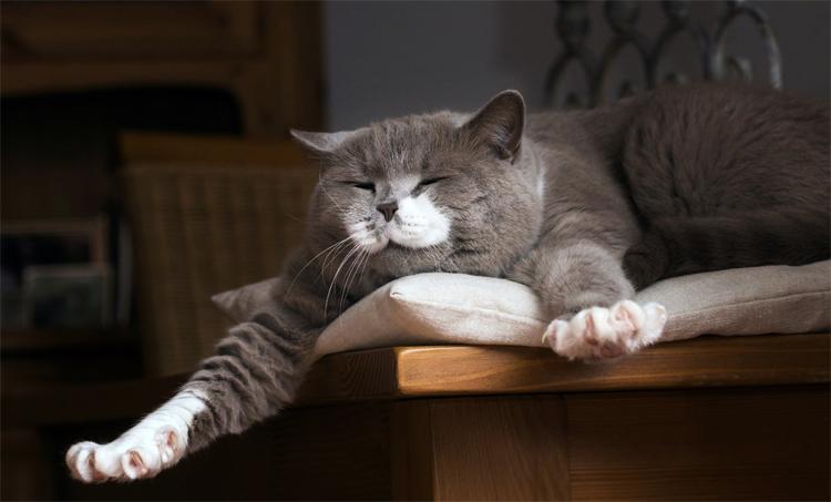 Толстый кот храпит