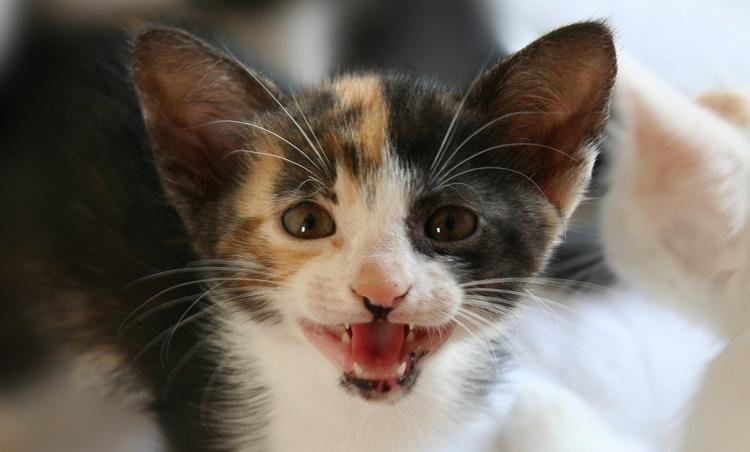 Кошка мяукает от боли