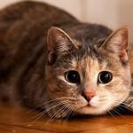 Кот кашляет вытянув шею (как будто подавился): причины и что делать