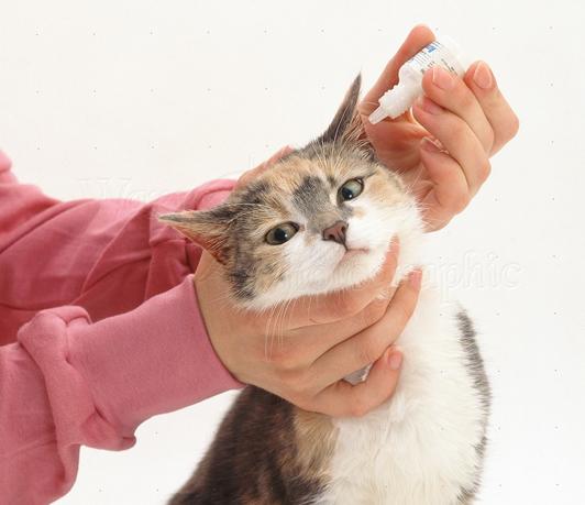 Лечение уха у кота
