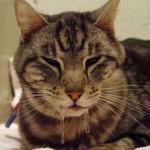 У кота текут слюни изо рта: причины и стоит ли беспокоиться