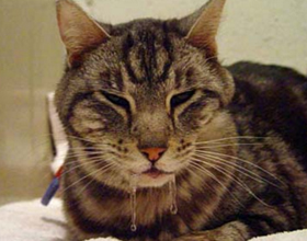 У кота текут слюни изо рта