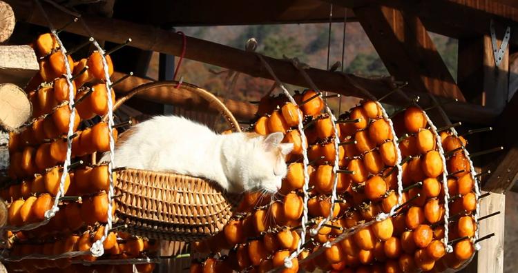 Кошка рядом с хурмой
