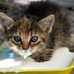 Можно ли кошкам давать кефир