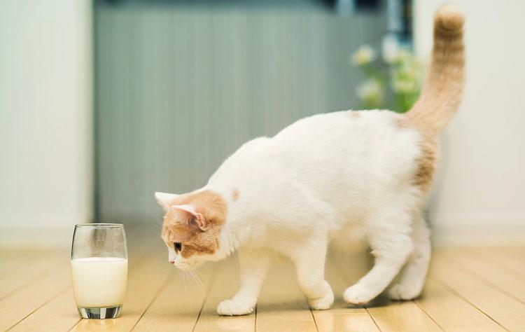 Кошка и стакан кефира