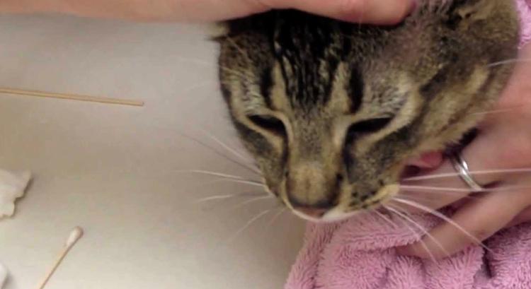 Манипуляции с кошачьими ушами
