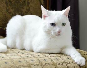 Недержание мочи у кошки