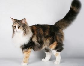 Породы котов с длинным хвостом