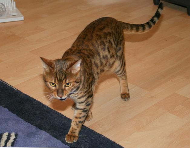 Бенгальский кот с хвостом
