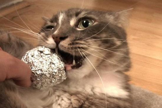 Коту дают фольгу