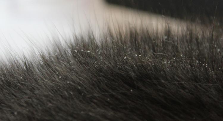 У черной кошки перхоть