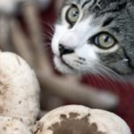 Можно ли давать кошкам грибы (и грибной суп)