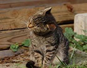 Кот сильно трясет ушами
