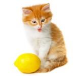 Почему коты не любят цитрусовые?