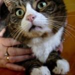 Кот съел шнурок: что делать и нужно ли беспокоиться