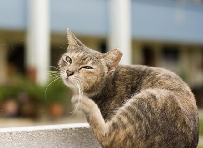 Кот чешет уши