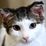 Кошка отморозила уши: что делать и как помочь