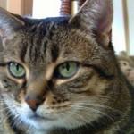 Повышенный креатинин у кошки: причины и что делать