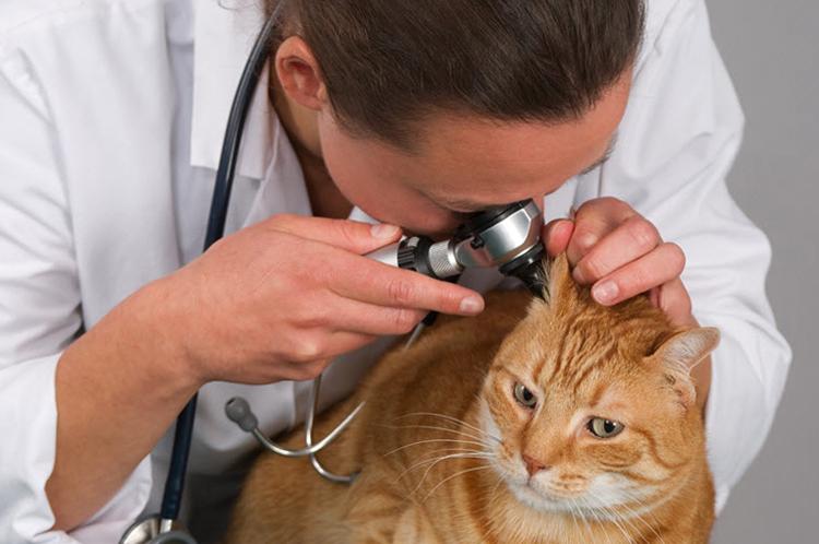 Осмотр уха ветеринаром