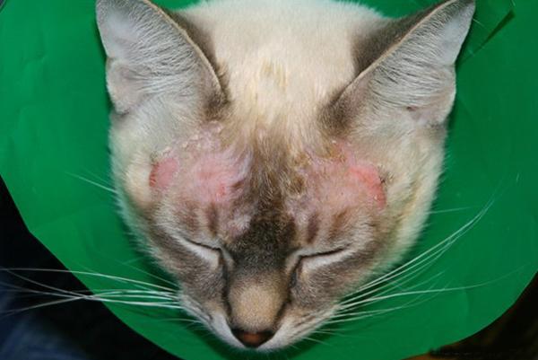 Экзема на морде у кошки