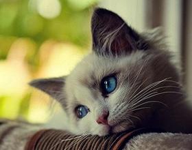 Гастрит у кошек