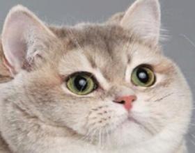 Тяжелое дыхание у кошки