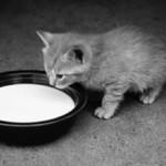 Можно ли котам давать молоко?