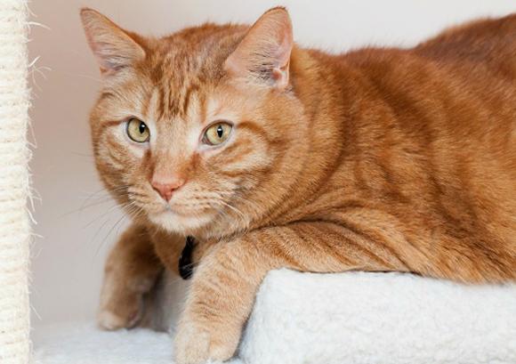 Рыжий кот с асцитом