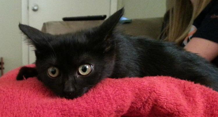 Красивый черный кот