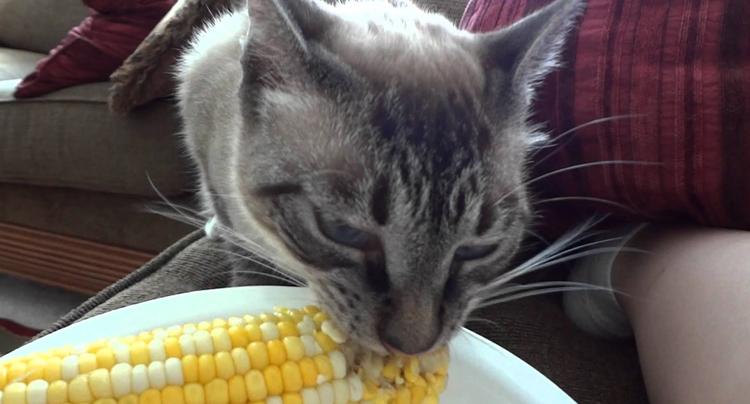 Кошка и кукуруза