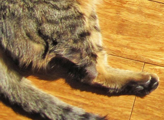 У кота проблемы с лапами