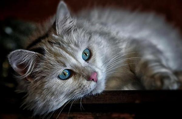 Кот с симптомами асцита