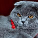 Чем отличаются британские вислоухие коты от шотландских?