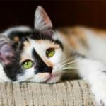 Болит живот у кота: симптомы и лечение