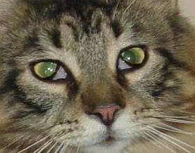 Третье веко у кошки: причины, лечение, фото