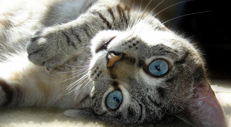 У кошки ложная беременность