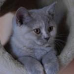 Варианты кличек для британских кошек (мальчиков и девочек)