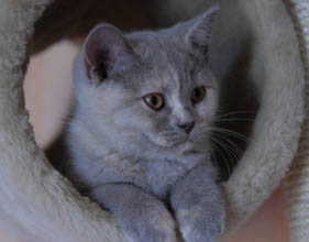 Варианты кличек для британских кошек