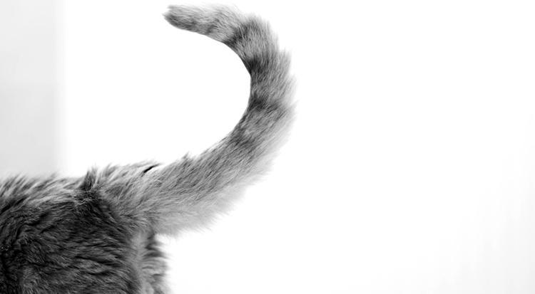 Кошачий хвост