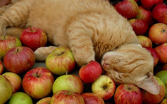 Кошка в яблоках