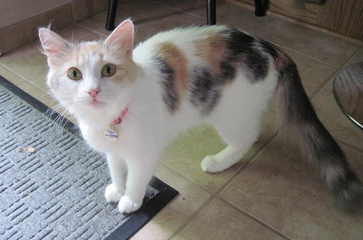 Красивая кошка с ложной беременностью