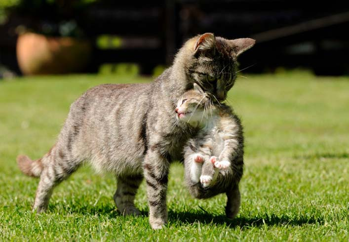 Мама несет котенка за шкирку