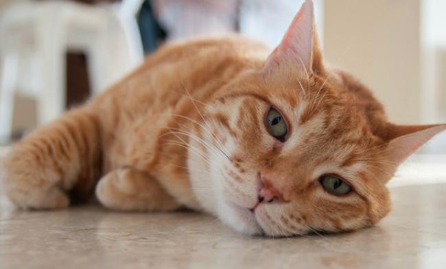 Отравленный кот