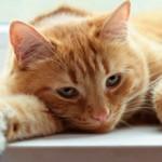 Пиелонефрит у кошек: причины, симптомы и лечение