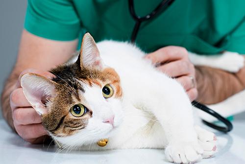 Диагностика кошки